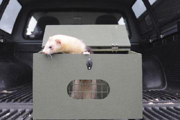 Ferret Roadshow ferret in a carry box