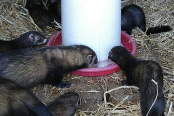 Ferrets drinking